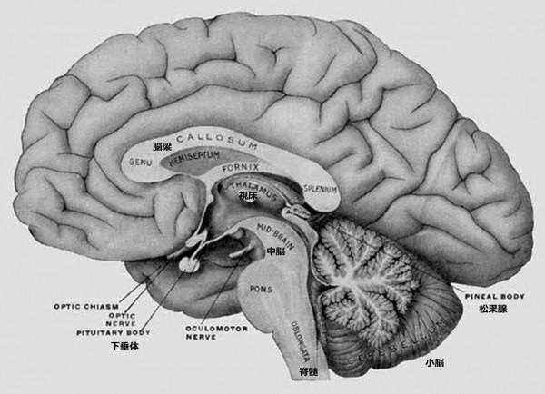2 6 5 Brain cutaway