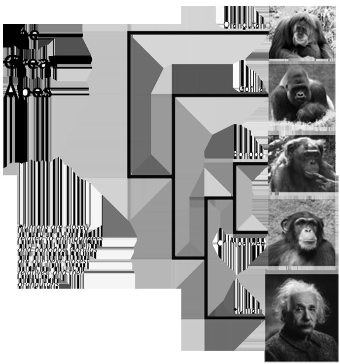 私たちは、近い「親戚」から何を学ぶのか。これは霊長類間の関係を表している。人間はチンパンジーやボノボにもっとも近い。ゴリラはその次で、オランウータンがそれに続く。興味深いのは、ボノボは仲間をつくる能力が大きいが、チンパンジーは争い合いが多い。