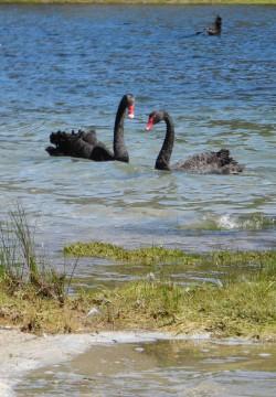 湖は、澄んだ湖水のほか、ブラックスワンの姿もきれい。